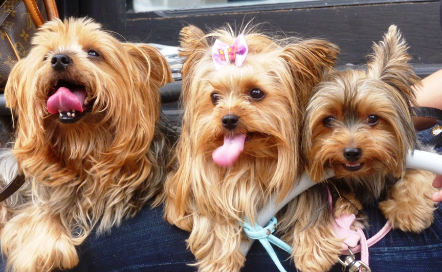 1000 Images About I Love Yorkies On Pinterest
