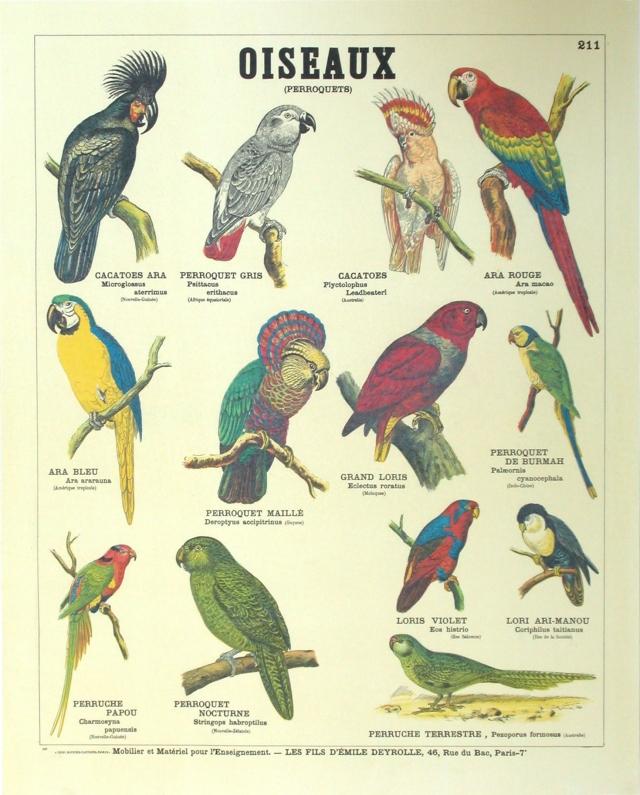Oiseaux__perroquets